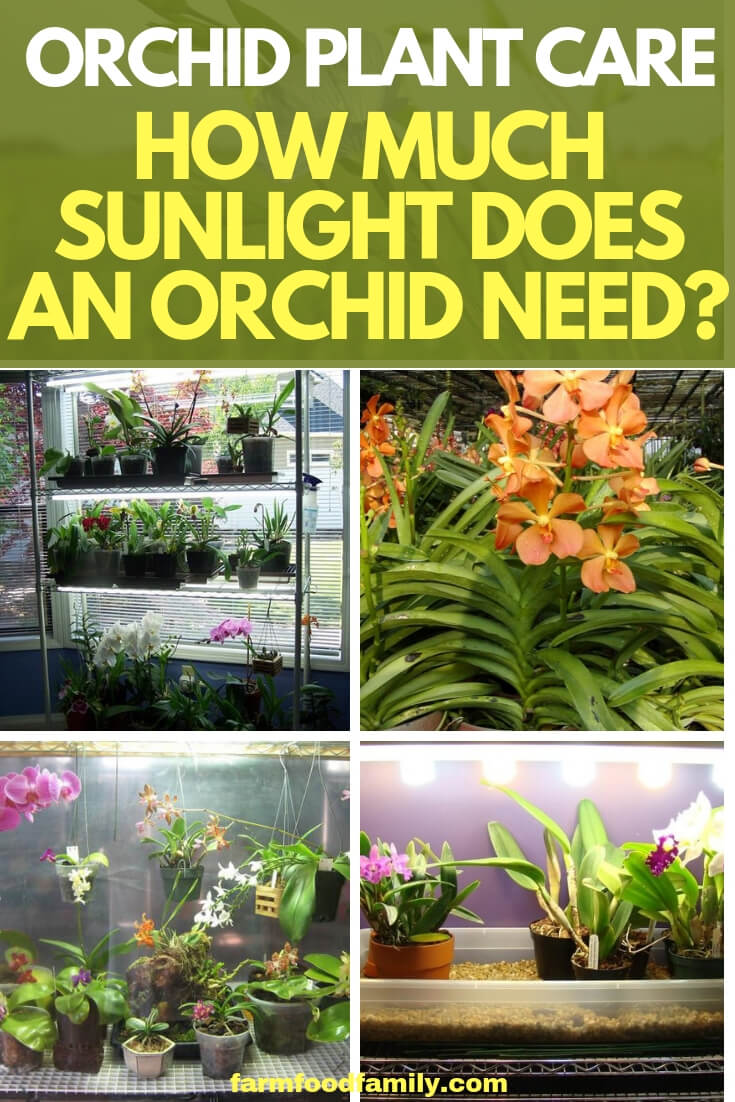 Orchid Plant Care: How Much Sunlight Does an Orchid Need?
