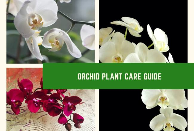 Orchid Plant Care Guide