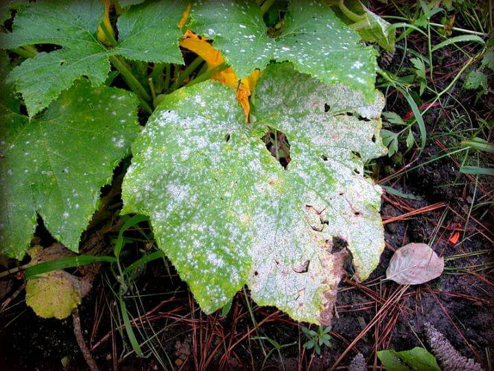 The Effects of Too Much Rain on the Garden: Powdery Mildew