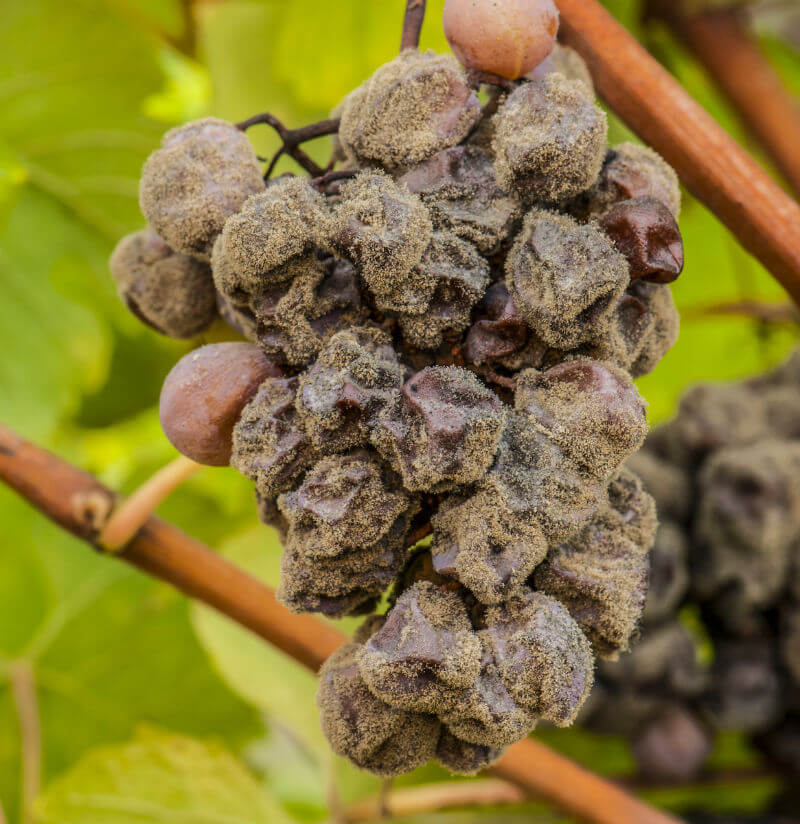 The Effects of Too Much Rain on the Garden: Botrytis