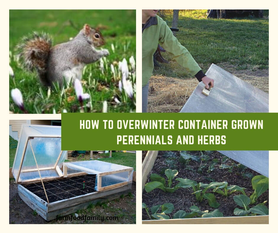 How to Overwinter Container Grown Perennials and Herbs