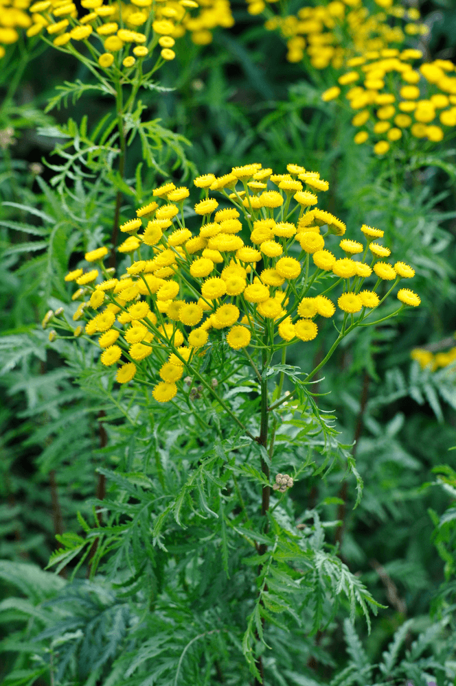 Tansy: 10 Plants That Repel Flies Naturally and Keep the Home Bug-Free