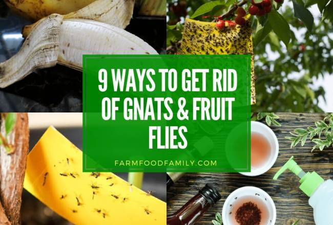 How to Get Rid of Gnats and Fruit Flies (9 Organic...