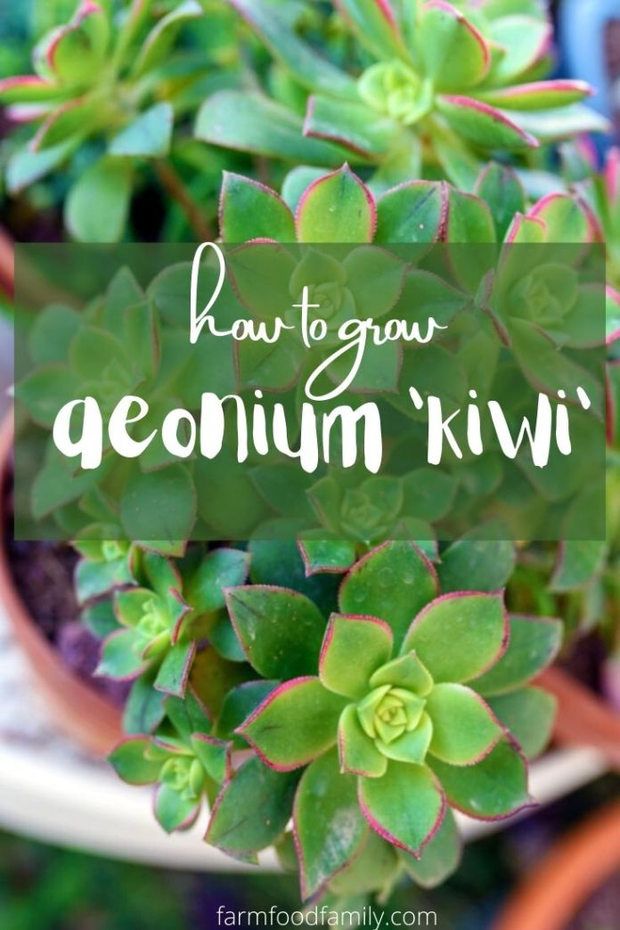 How to grow Aeonium Kiwi succulent