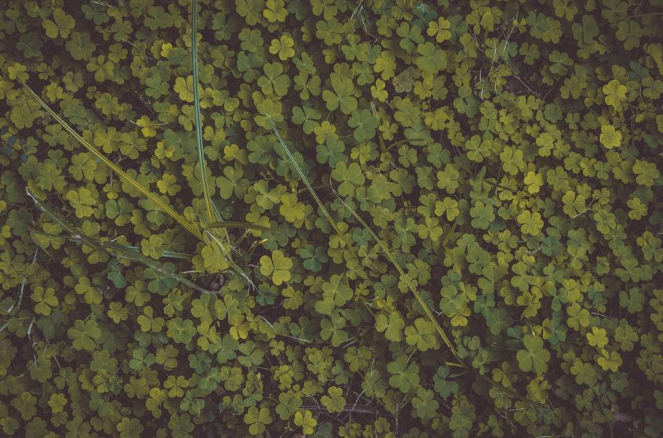 Picture of clover plants