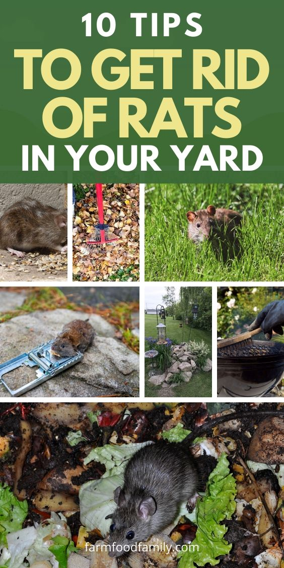 How To Get Rid Of Rats in Garden: 10 Tips on Having a Rat ...