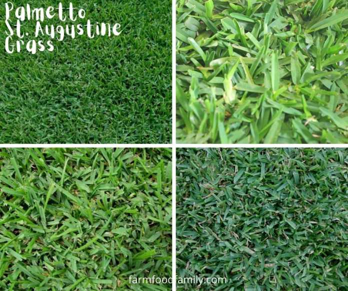 Palmetto St. Augustine grass - Best Shade Grass