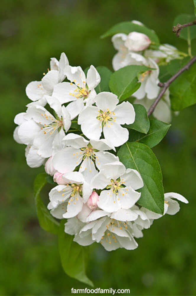 Types of crabapples: White Angel Crabapple (Malus 'Inglis' White Angel)