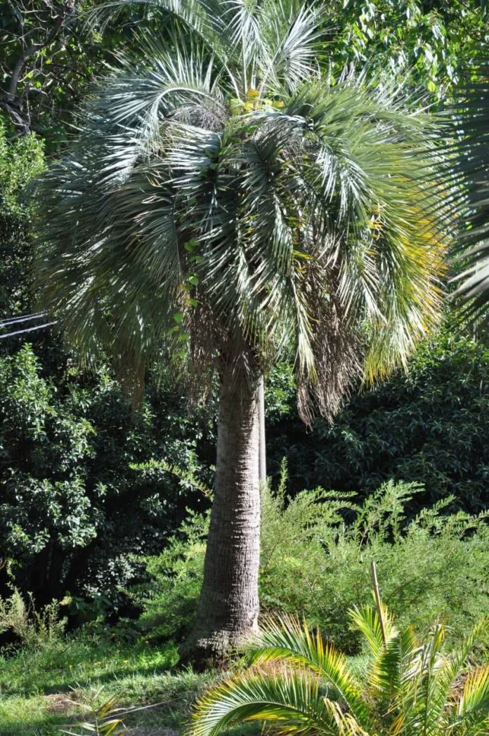 Pindo palm (Butia Capitata,  jelly palm)