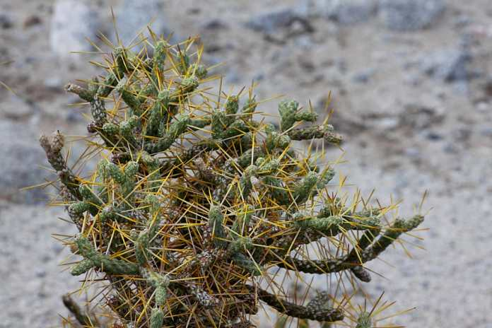 Pencil Cholla (Cylindropuntia Arbuscula)