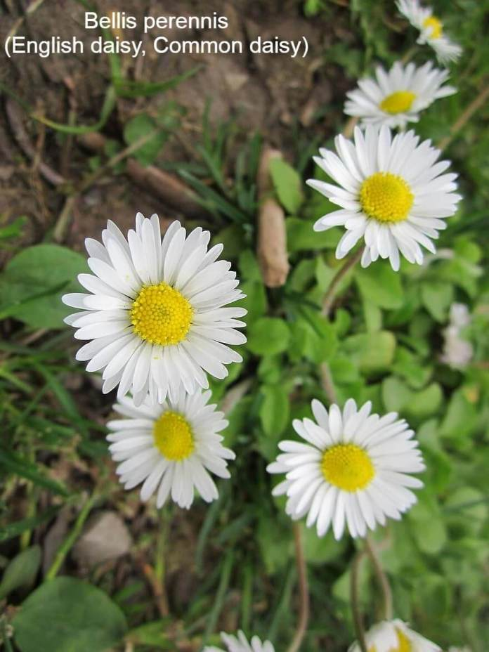 Bellis perennis (English daisy, Common daisy)