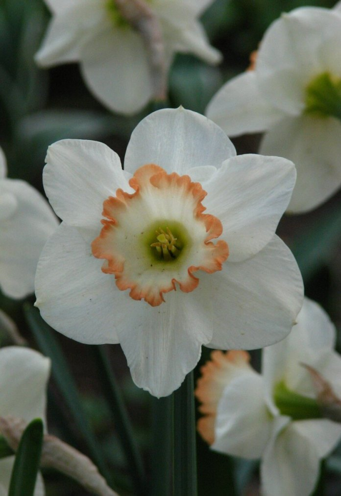 Large-Cupped Daffodils (Narcissus 'Carlton')