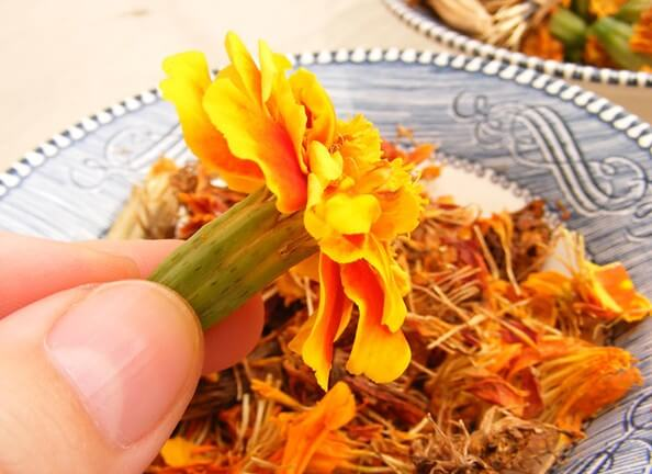 Harvesting marigolds