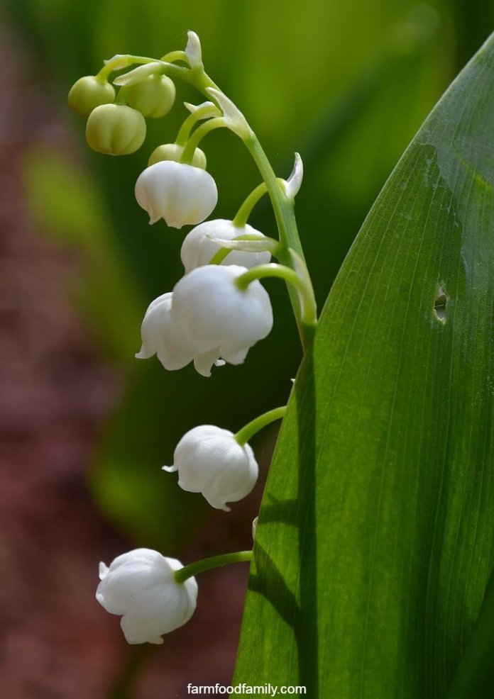 Lily of the valley care guide