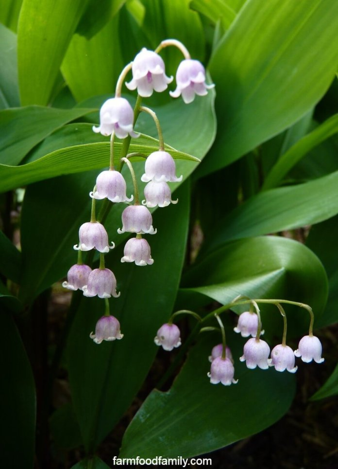 Lily of the valley facts