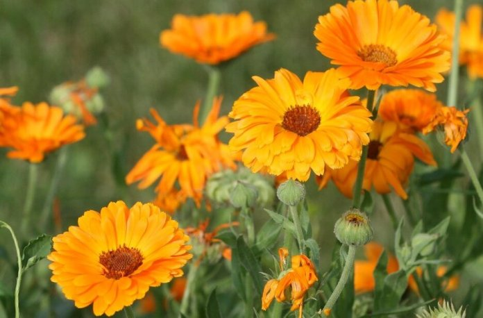 Marigolds facts
