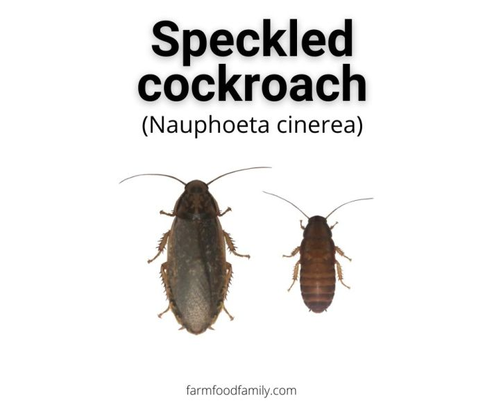Cinereous (Lobster) Cockroaches (Nauphoeta cinerea)