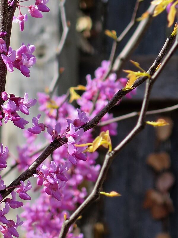 The Rising Sun Redbud (Cercis canadensis 'The Rising Sun')