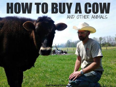 raising beef 5