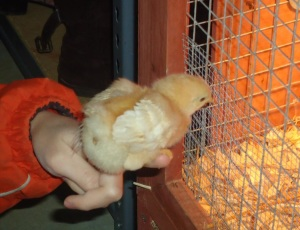 baby chickens 003