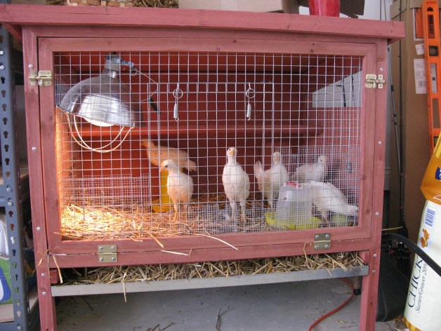 chickens 017