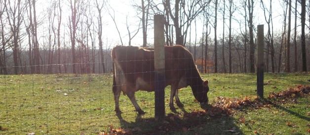 How To Dry Up A Milk-Cow – My Bawling Calf