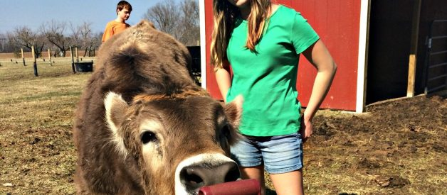 Brown Swiss – May be the Basset Hound of the Cattle World
