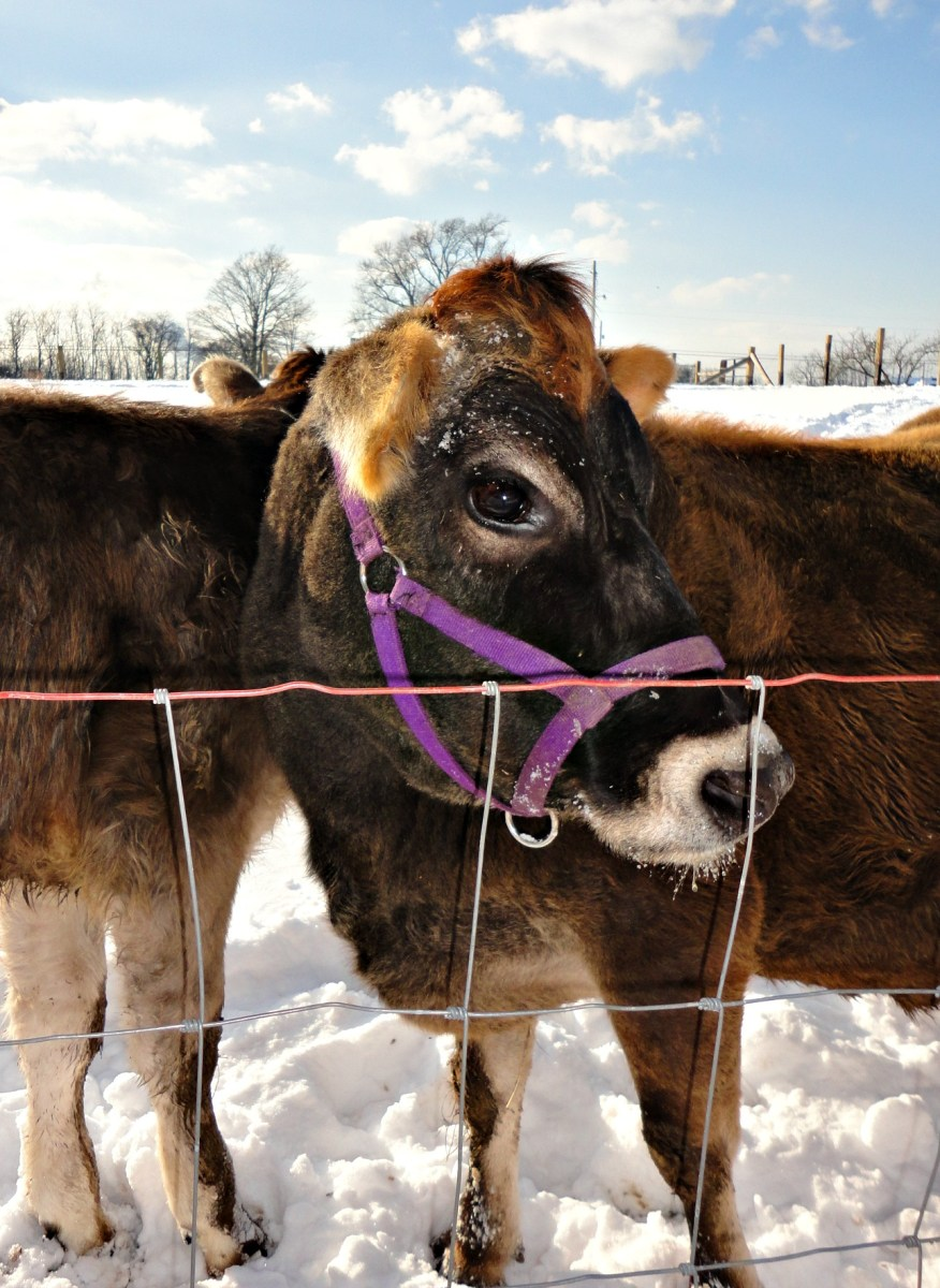 6 Lies I Was Told Before I Got My Cow Farm Fresh For