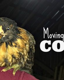Moving Baby Chicks To The Coop