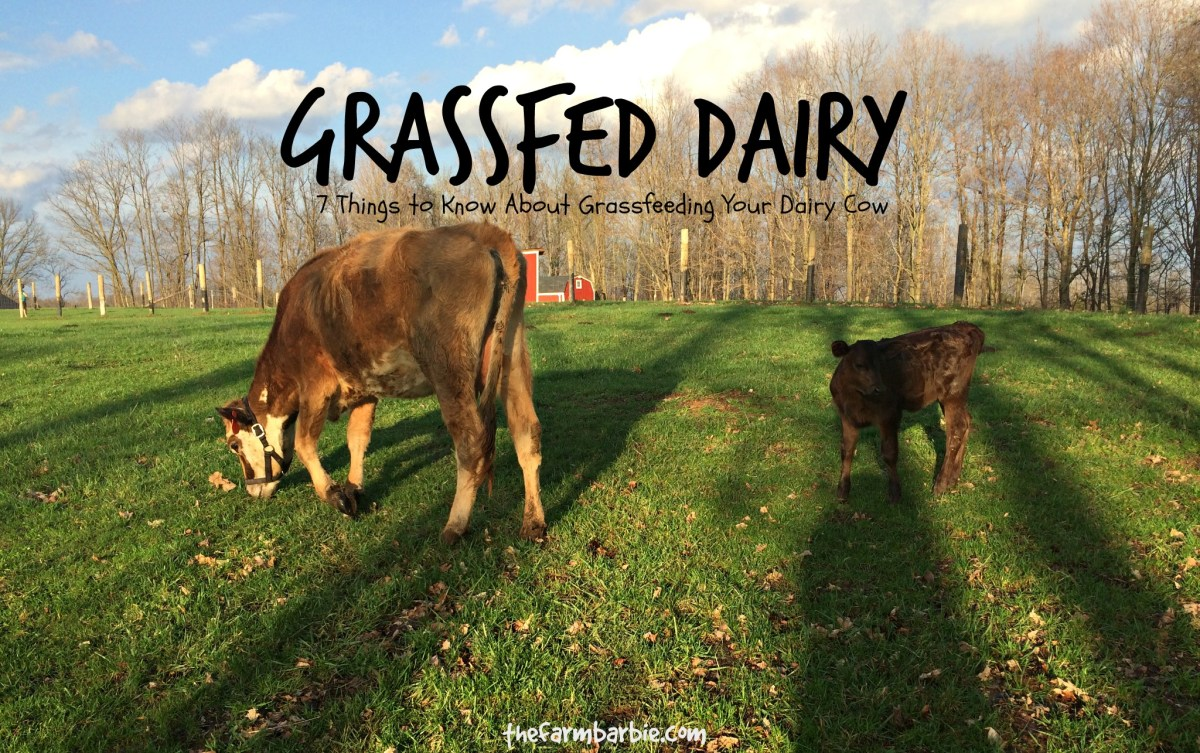 Are Grassfed Jersey Cows Being Abused?
