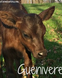 Working Calves that….. don't want to be worked