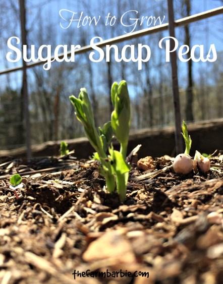 sugar snap more