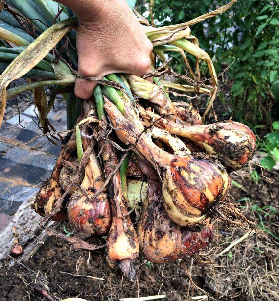 onions 2.1