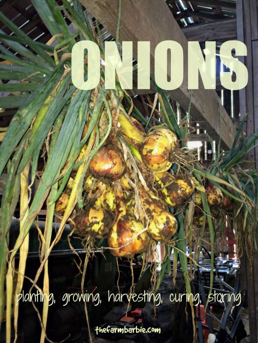 onions 2.5