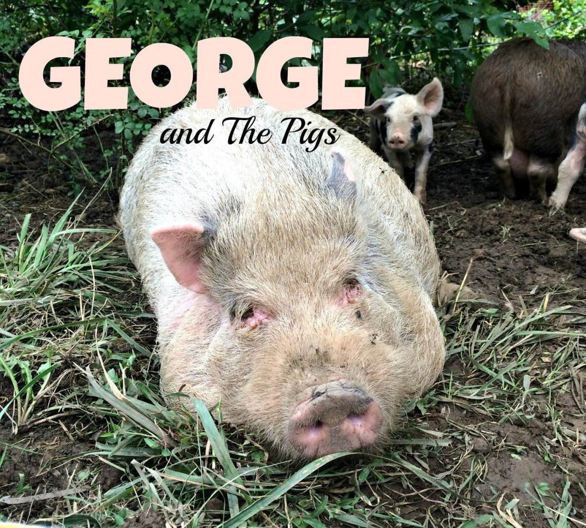 Raising Pigs Update Water Fencing Escaping Hot Tubs