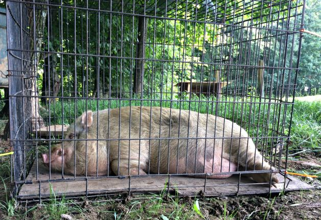potbelly pigs 6