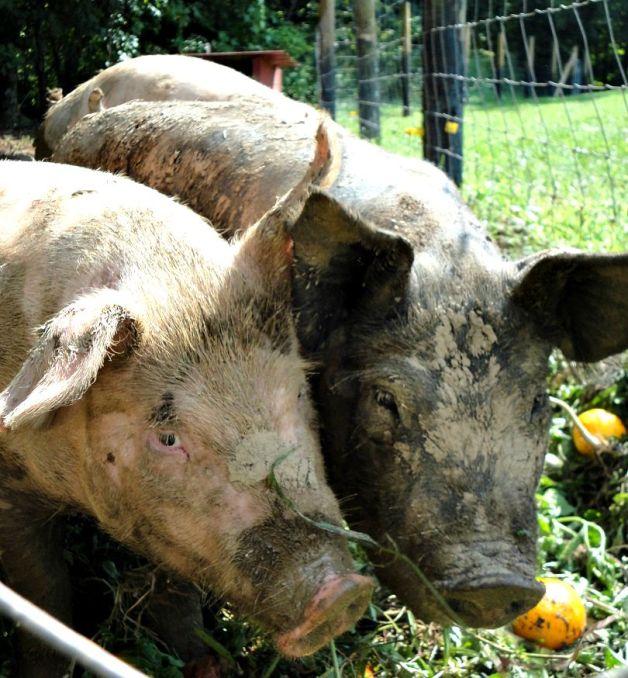 RAISING PIGS 5