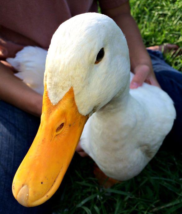 duck coop 2