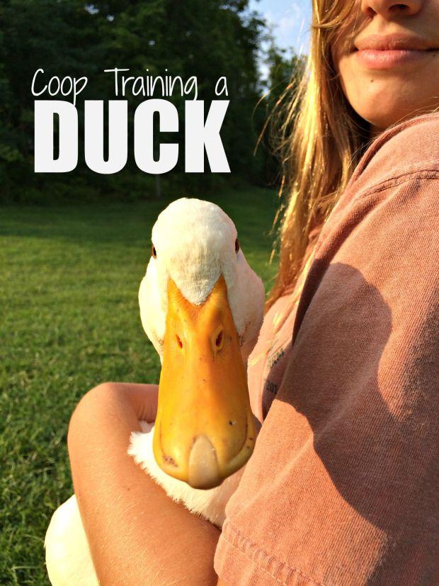 duck coop