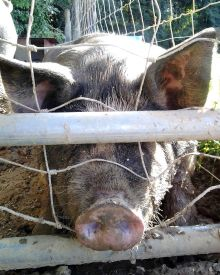 Growing Your Own Pork – When is the best time to Raise Pigs?