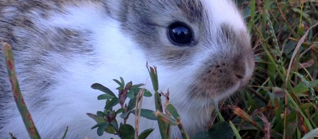 Can a Female Rabbit get Pregnant While she is Pregnant?