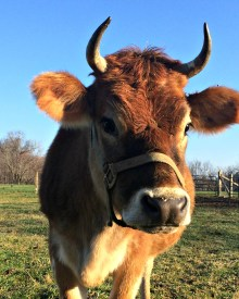 How to Knock-up a Cow in No Time – Boo Yah!  The Ladies are Bred!
