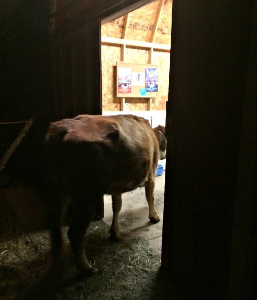 early milking 2