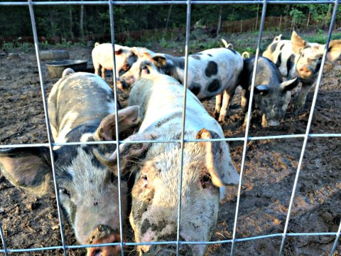 pig pasture grit 9