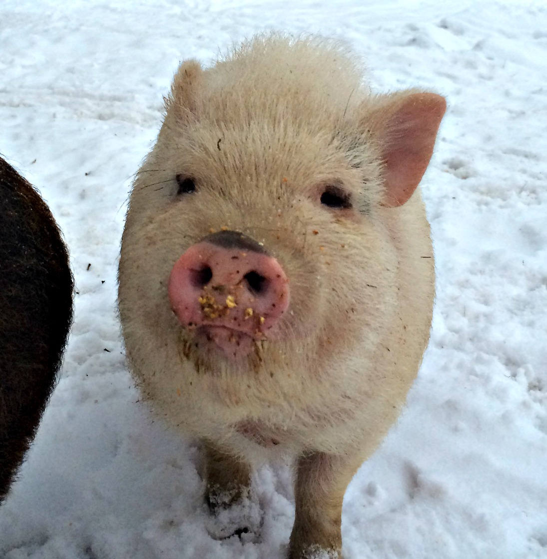 Keeping Pigs In Winter Farm Fresh For Life Real Food