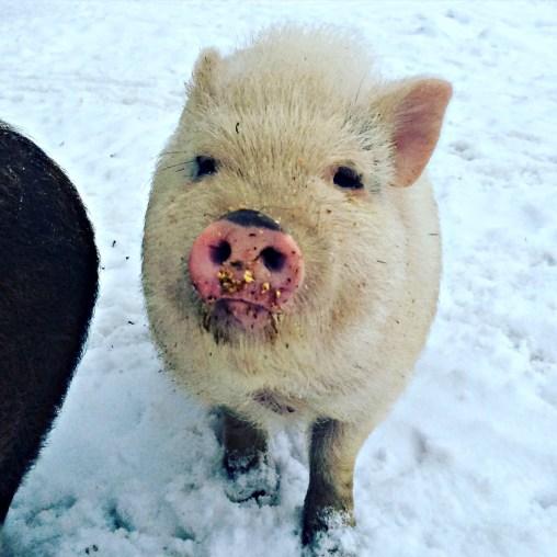 pig snow 5