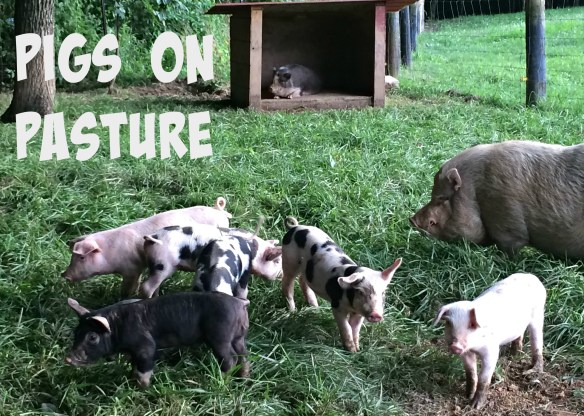 pigs 20