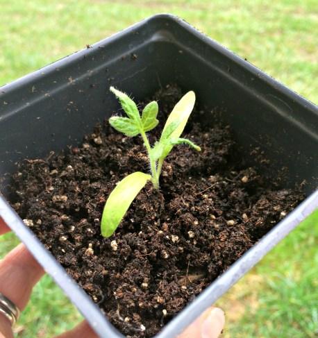 seedling 1.4
