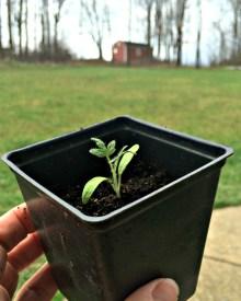 Start Your Seeds Indoors #4 – Transplanting Seedlings into Bigger Pots