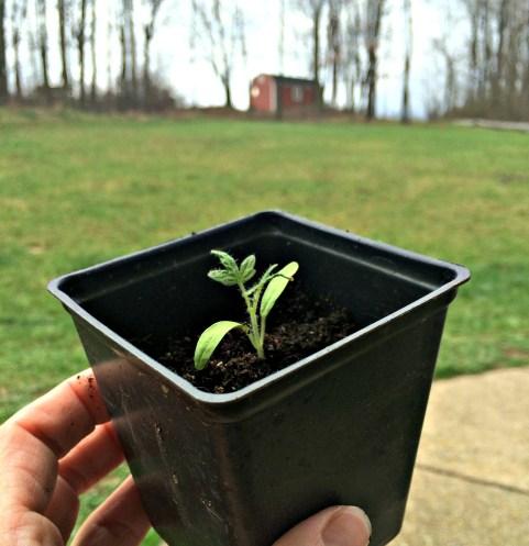 seedling 1.5